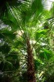 ventilatoren gömma i handflatan trachycarpus Arkivfoton
