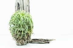 Ventili la pianta della radice, la tillandsia Ionantha, su fondo bianco Fotografia Stock Libera da Diritti