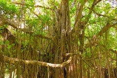 Ventili le radici che pendono da un fico nei tropici Fotografie Stock