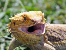 Venting Bearded Dragon Stock Images