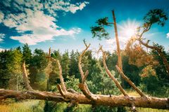Ventis dans des dommages de tempête de forêt Arbres tombés dans la forêt conifére photographie stock