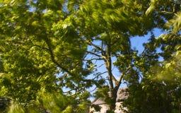 Vento in alberi Fotografie Stock