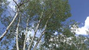 Vento che fruscia l'insenatura Colorado dello storpio delle foglie della tremula video d archivio