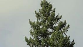 Vento che soffia nella cima dell'albero stock footage