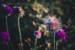 Vento congelado na flor de um Carduus do cardo Nascer do sol do verão em um botão de flores selvagens Fundo escuro fotos de stock royalty free