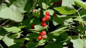 Vento di rosso delle bacche dell'uva passa archivi video