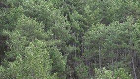 Vento na floresta alta do pinho vídeos de arquivo