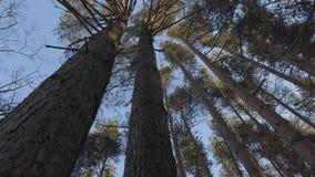 Vento na floresta do pinho filme
