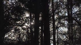 Vento na floresta do pinho video estoque