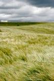 Vento sobre o campo de trigo fotografia de stock royalty free