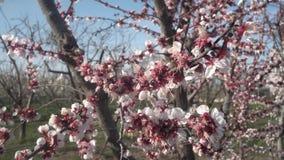 Vento tramite il fiore di ciliegia video d archivio