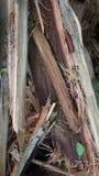 Vento velho quebrado, pinho secado, deteriorado Fotografia de Stock Royalty Free