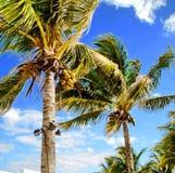 Ventoso através das palmas Fotografia de Stock