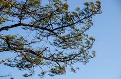 Ventoso e la foglia del pino Fotografia Stock