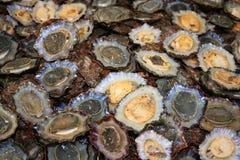 Ventouse - escargot comestible Photos stock