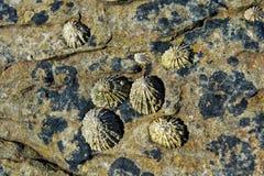 Ventouses et x28 ; Patellidae& x29 ; élevage sur des roches dans la zone de ressac Images libres de droits