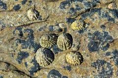 Ventouses et x28 ; Patellidae& x29 ; élevage sur des roches dans la zone de ressac Image libre de droits