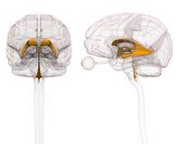 Ventrículos de Brain Anatomy Imagens de Stock