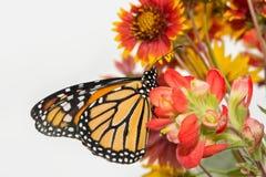 Ventral sikt av en manlig monark på röda blommor royaltyfri foto