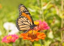Ventral sikt av en monarkfjäril som matar i en sommarträdgård royaltyfri fotografi