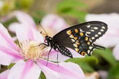Ventral view of a beautiful male Eastern Black Swallowtail butterfly. On a Clematis flower royalty free stock photo