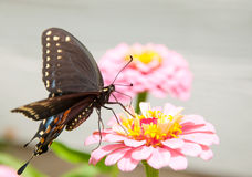 Ventral view of a Black Eastern Swallowtail Royalty Free Stock Photography