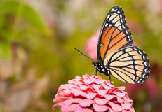 Ventral view of a colorful Viceroy butterfly Stock Photography