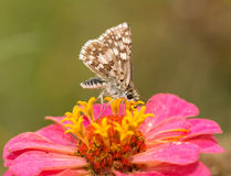 Ventral view of a Common  Checkered Skipper butterfly Royalty Free Stock Photography