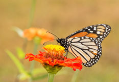 Ventral view of a Danaus plexippus, Monarch butterfly Royalty Free Stock Photos