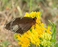 Ventral view of a female Diana Fritillary butterfly royalty free stock images