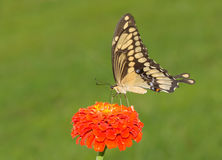 Ventral view of a Giant Swallowtail butterfly Royalty Free Stock Photos