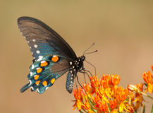 Ventral view of a Green Swallowtail butterfly. Feeding on Butterflyweed, Asclepias tuberosa royalty free stock photo