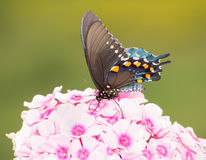 Ventral view of a Green Swallowtail butterfly Stock Image