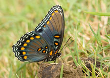 Ventral view if a beautiful Red-spotted Purple Admiral butterfly Stock Images