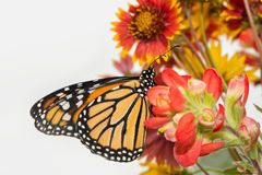 Ventral view of a male Monarch on red flowers Royalty Free Stock Photo