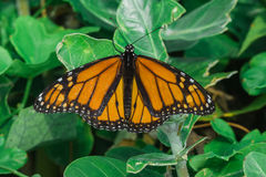 Ventral View of a Monarch Butterfly Royalty Free Stock Image