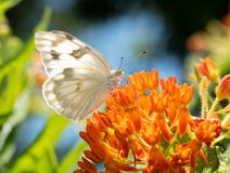 Free Ventral View Of A Checkered White Butterfly Drinking Nectar Stock Photography - 153911162
