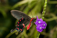 Pink Rose Swallowtail Stock Photography