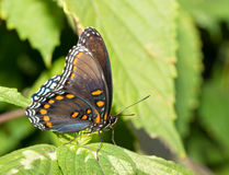 Ventral view of a Red Spotted Purple Admiral butterfly Royalty Free Stock Photo