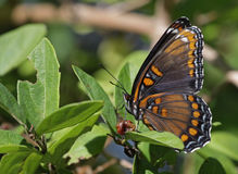 Ventral View of a Red-spotted Purple Butterfly Stock Photo