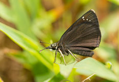 Ventral view of a tiny Common Sootywing butterfly Stock Image