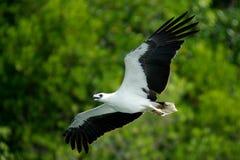 Ventre blanc Eagle d'île de Langkawi image libre de droits