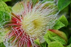 Ventre-bois de sphaerica de Careya ; fleurs sur la cour un grand et facile à tomber bouquet de fleur Consistent les longs stamens photo libre de droits