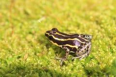 Ventre-Gift-Frosch Stockbilder