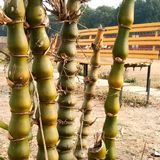 Ventricosa do Bambusa & x28; Buddha& x27; s Belly& x29; fotografia de stock