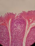 Ventriglio di anas dell'anatra Fotografia Stock