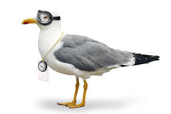 Venturesome seagull Stock Photos