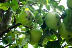 Fungal infection of apples. The Venturia inaequalis is an fungal infection of apple trees stock images