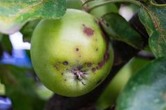 Fungal infection of apples. The Venturia inaequalis is an fungal infection of apple trees royalty free stock photography