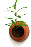 Venturing Out!. Big Ambitions in a Small Place! A pomegranate tree seedling starts to grow from a small earthern pot. Taken on clean white background with copy Royalty Free Stock Photography